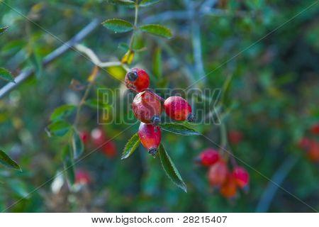 Hawthorn (Crataegus monogyna) berries