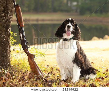 spaniel hunting dog posing with shotgun