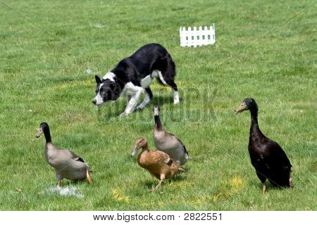 Collie Working Ducks