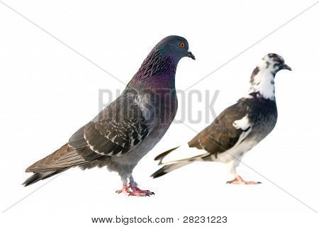 Couple Pigeons. Isolated On White Background.
