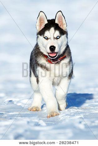 Husky Cub portrait