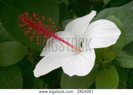 White Hybiscus Blossom