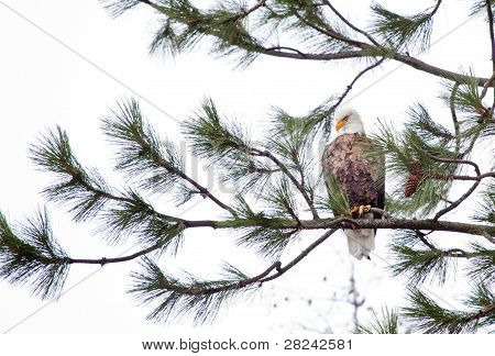 Mean Looking Eagle