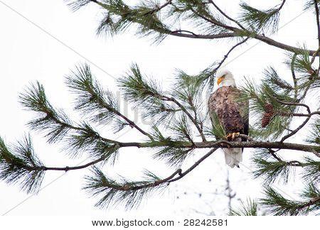 meine suchen Adler