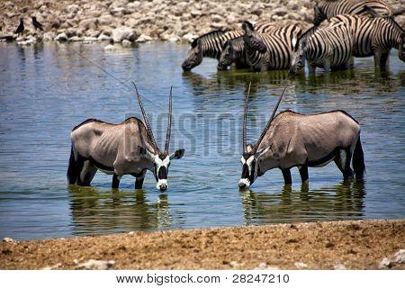 Two Oryx Drinking Water At Okaukuejo Etosha National Park