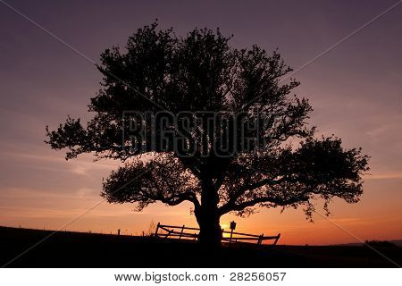 big tree in the sunset
