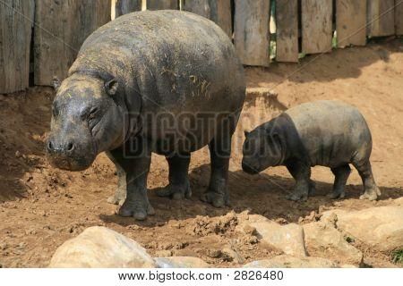 Pygmy Hippos - Exotic Animal