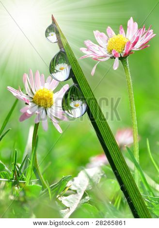 Fresh grass with dew drops in the background of the daisies