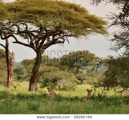 Wild lions in Africa