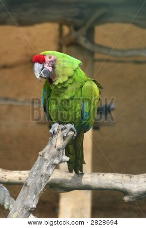 Military Macaw Parrot - Endangered Species