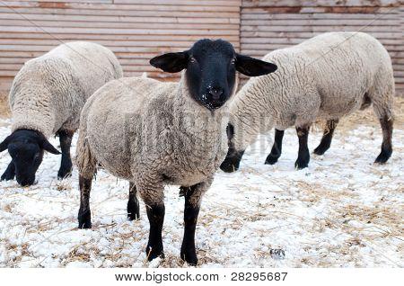 Suffolk Sheeps