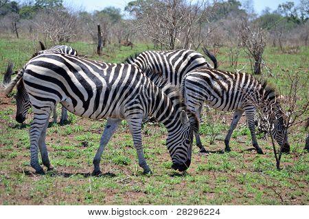 Zebra Pasture