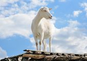 Funny Goat Standing On Barn Roof On Country Farm. Cute And Funny White Young Goat On A Background Of poster