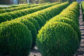 Evergreen Buxus Or Box Wood Nursery In Netherlands, Plantation Of Big Round Box Tree Balls In Rows D poster
