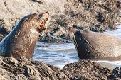A Pair Of New Zealand Fur Seals, Southern Fur Seals Or Long-nosed Fur Seals, Arctocephalus Forsteri, poster