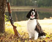 stock photo of shotgun  - spaniel hunting dog posing with shotgun - JPG