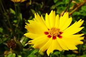 Dahlia Yellow Flower. Yellow Dahlia Flower In Flower Border. Dahlia Yellow Star. poster