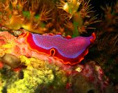 foto of flatworm  - Fuchsia Flatworm  - JPG