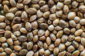 Organic Hemp Seed. Close Up. Hemp Seeds Background In Macro. Macro Detail Of Marijuana Seed. Many Ca poster