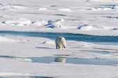 Polar Bear On The Pack Ice poster