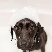 Dog Labrador Retriever Washes His Head In The Bathroom. A Cute Black Little Puppy Labrador Retriever poster