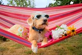 Funny dog on vacation in hammock with sunglasses head,and flowers poster