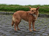 Adorable Mixed Breed Canine Standing On Cobblestones. poster