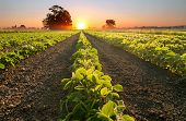 Soy Field And Soy Plants Growing In Rows In A Field, At Sunset poster
