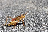 pic of hopper  - Grass hopper from the Everglades sitting on a road - JPG