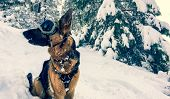 Awesome German Shepherd Dog Wearing Snow Goggles In A Snow Covered Forest. poster