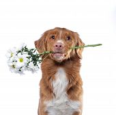 The Dog Holds The Teeth Flowers. Nova Scotia Duck Tolling Retriever On A White Background. Funny Pet poster