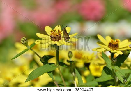 Zinnia Zahara Yellow With Skipper Butterfly.
