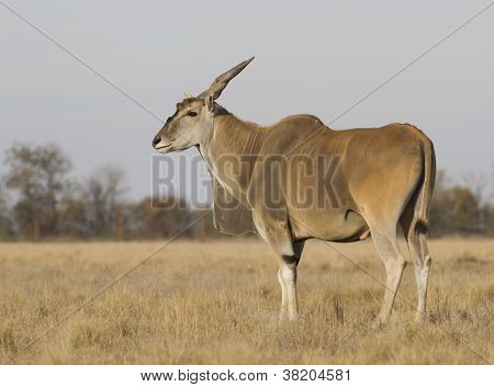 Male Eland In Autumn Steppe.