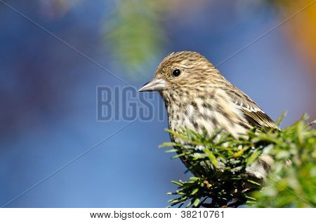Pine Siskin Perched On Evergreen Tree