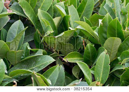 Bay leaf texture