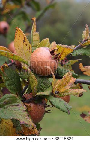 Medlar Tree