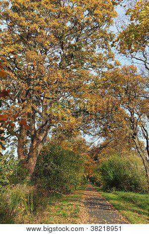 Avenue Of Plane Trees In Autumn