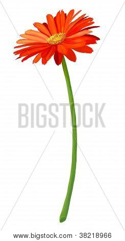 Fresh Orange Gerbera Flower In Full Blossom