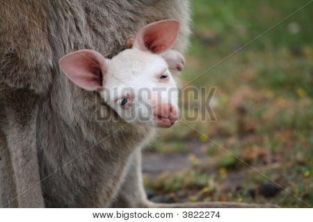 Albino Joey
