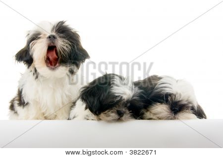 Singing Puppy Hits A Sour Note