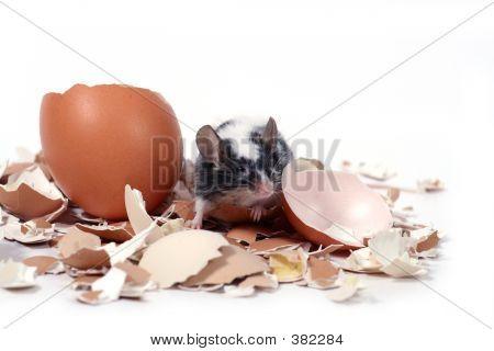 Mouse In Broken Eggshells
