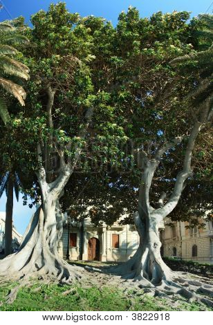 Two Huge Ficus Macrophylla