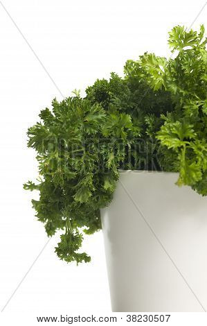 Pot fresh parsley