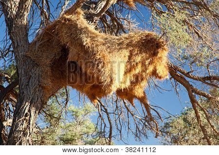 Sociable Weavers Big Nest. Namibia. Africa.