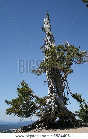 Árvore de abeto