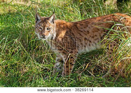 Portrait Of Eurasian Lynx Standing In Long Grass