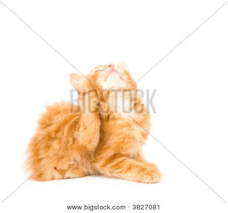 Kitten een jeuk krabben