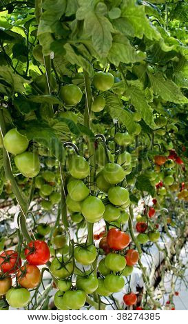 Vine filled with ripening tomatoes