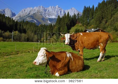 Two Cows On Austriac Alps