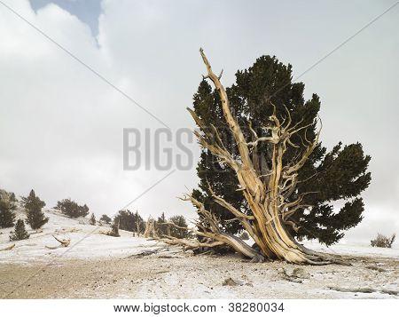 Bristlecone Forrest